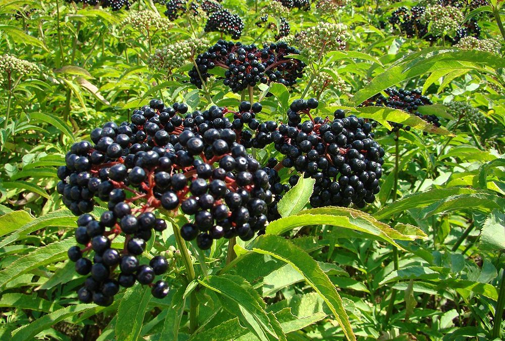 Black elderberry or dwarf elder?