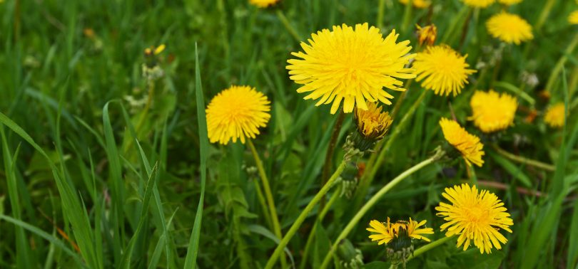 Dandelion- the Ginseng of the Wesst